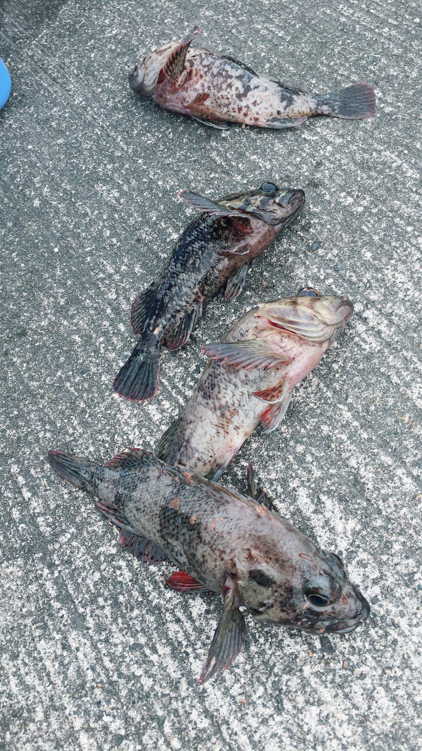 Kazukuさんの投稿画像,写っている魚はムラソイ