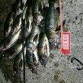 船場サラリーマンさとしさんの愛媛県での釣果写真