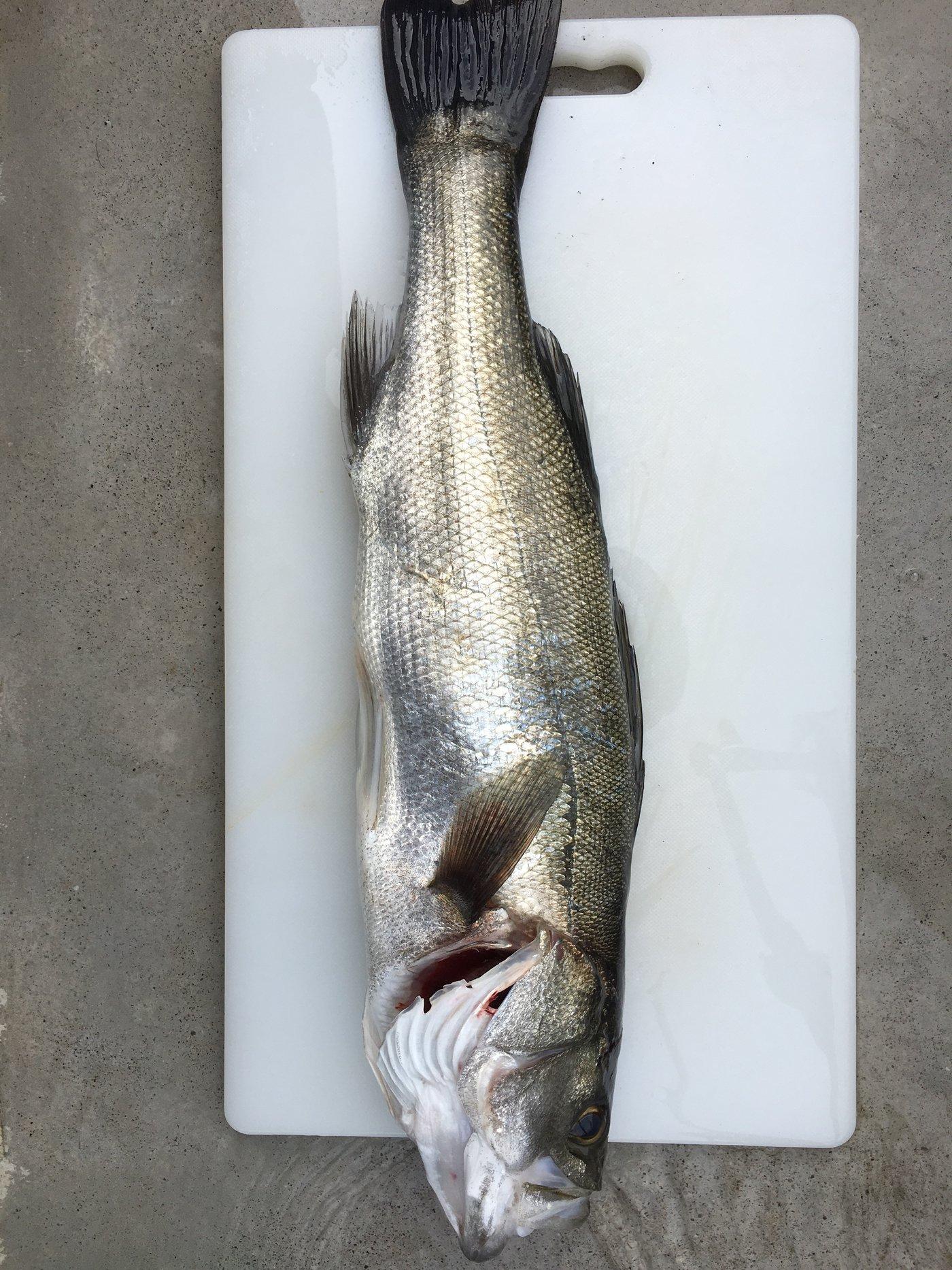 たかさんの投稿画像,写っている魚はスズキ