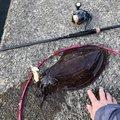 るーさんの三重県尾鷲市でのコウイカの釣果写真