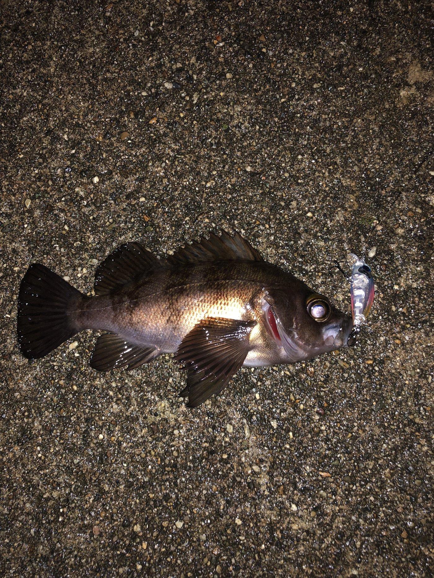 神楽さんの投稿画像,写っている魚はメバル