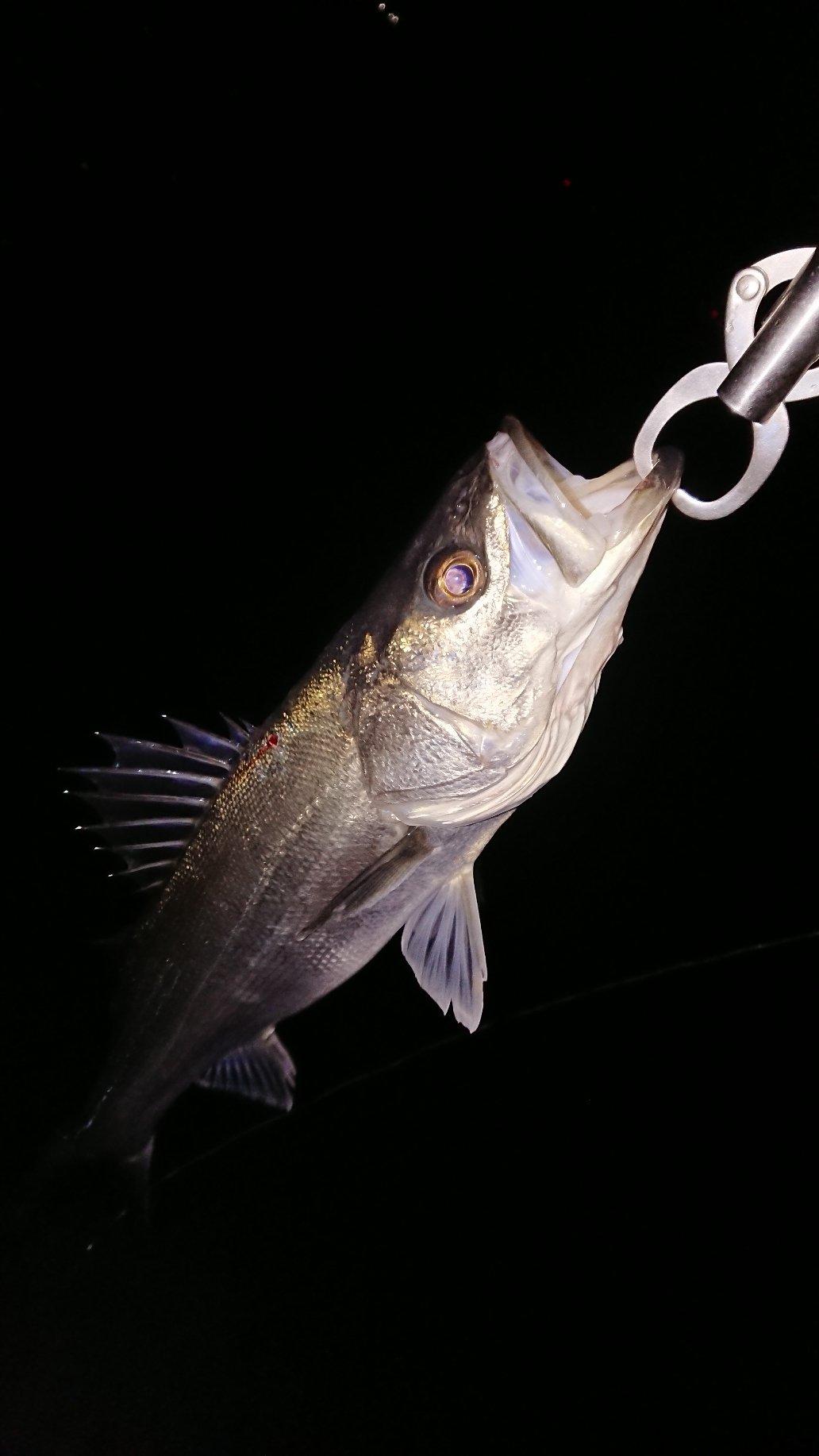 マンボウさんの投稿画像,写っている魚はスズキ