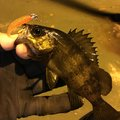 Satossyさんの広島県での釣果写真