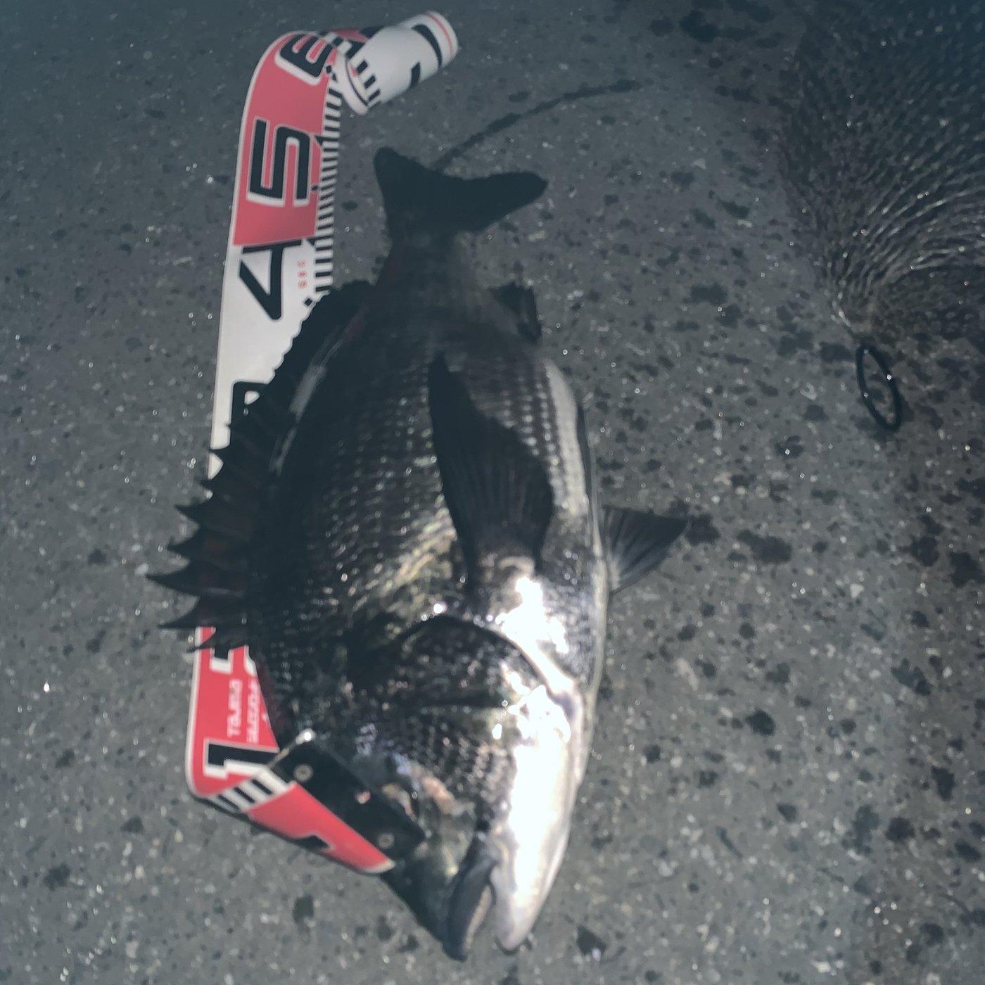 御伽さんの投稿画像,写っている魚はクロダイ