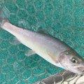 taketonbowさんの大阪府豊中市での釣果写真