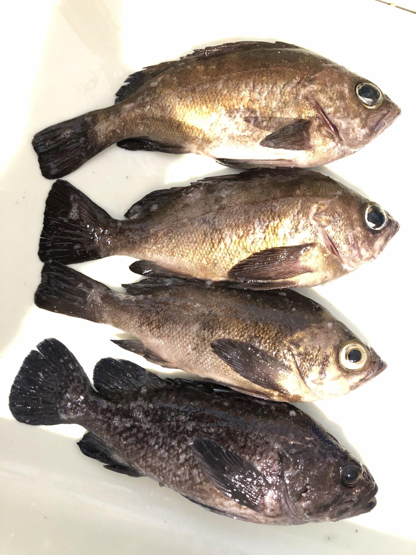 エクイップ2さんの投稿画像,写っている魚はメバル,ソイ
