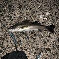 マサ1173さんの千葉県大網白里市での釣果写真