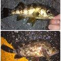 もっちゃんさんの静岡県でのカサゴの釣果写真