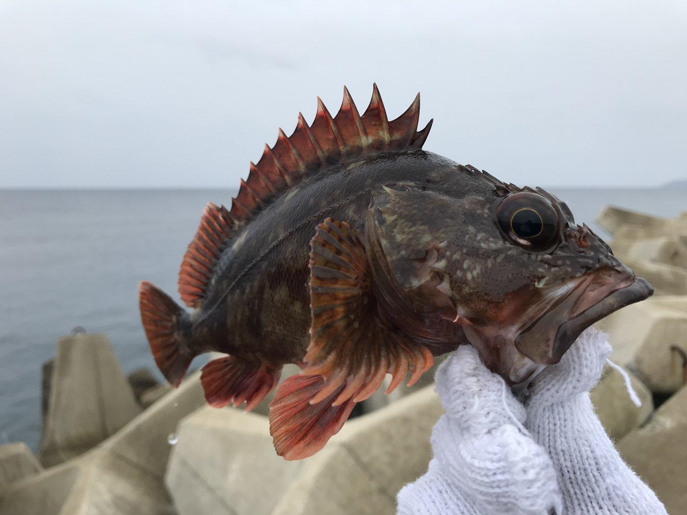 kubotaさんの投稿画像,写っている魚はカサゴ