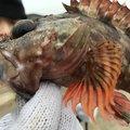 kubotaさんの和歌山県での釣果写真
