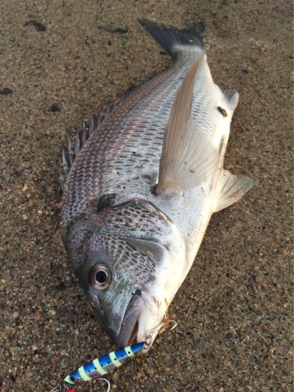 おっちょさんの投稿画像,写っている魚はクロダイ