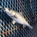 グゥ猫さんの千葉県八千代市での釣果写真
