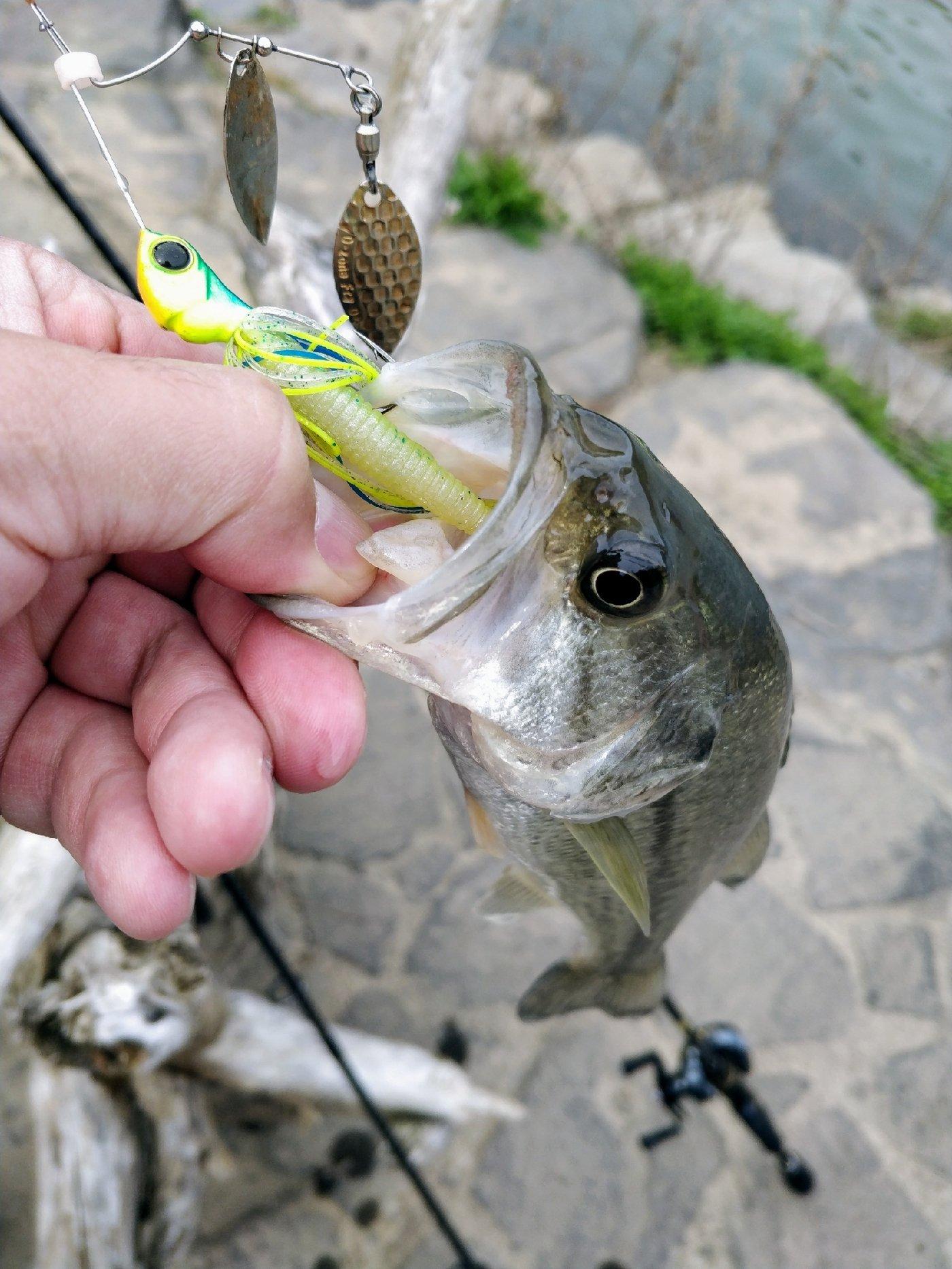 なぎ@釣り歴2年目さんの投稿画像,写っている魚はブラックバス