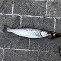 かずさんの神奈川県足柄下郡での釣果写真
