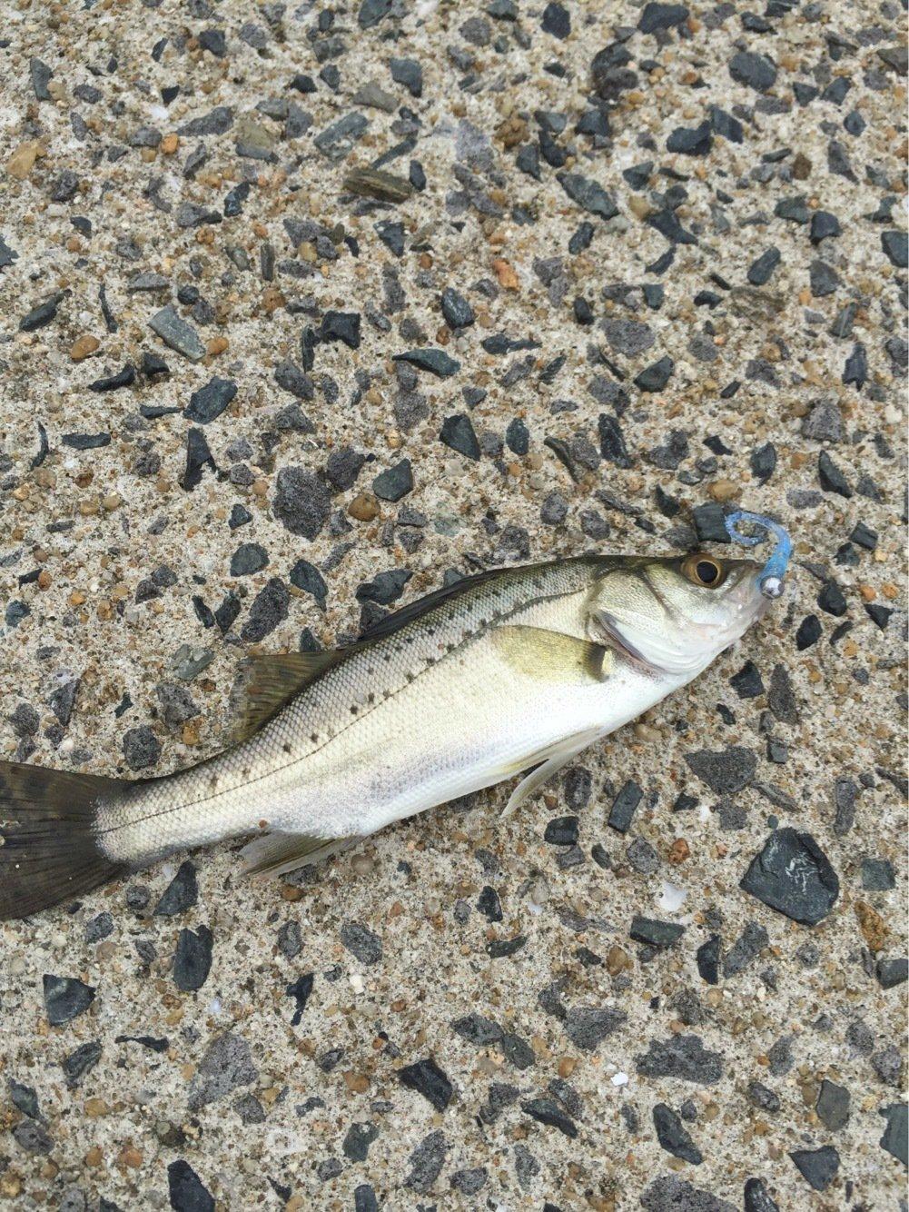 タローさんの投稿画像,写っている魚はスズキ