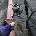 キジトラさんの岩手県陸前高田市での釣果写真