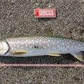 ピザまんさんの北海道での釣果写真