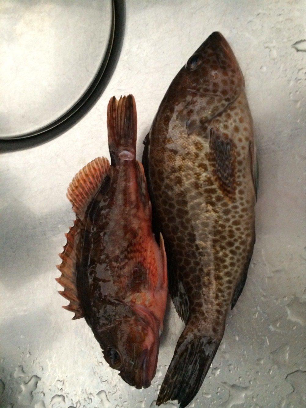 M.Uさんの投稿画像,写っている魚はオオモンハタ