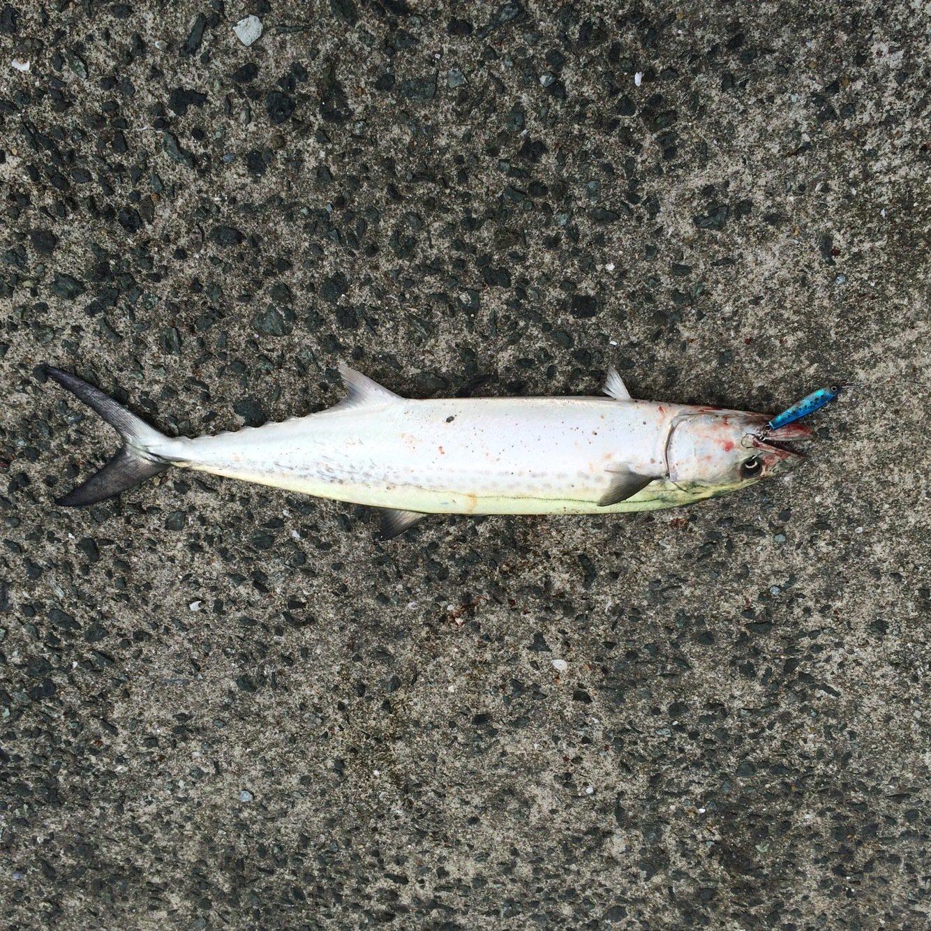 大介さんの投稿画像,写っている魚はサワラ