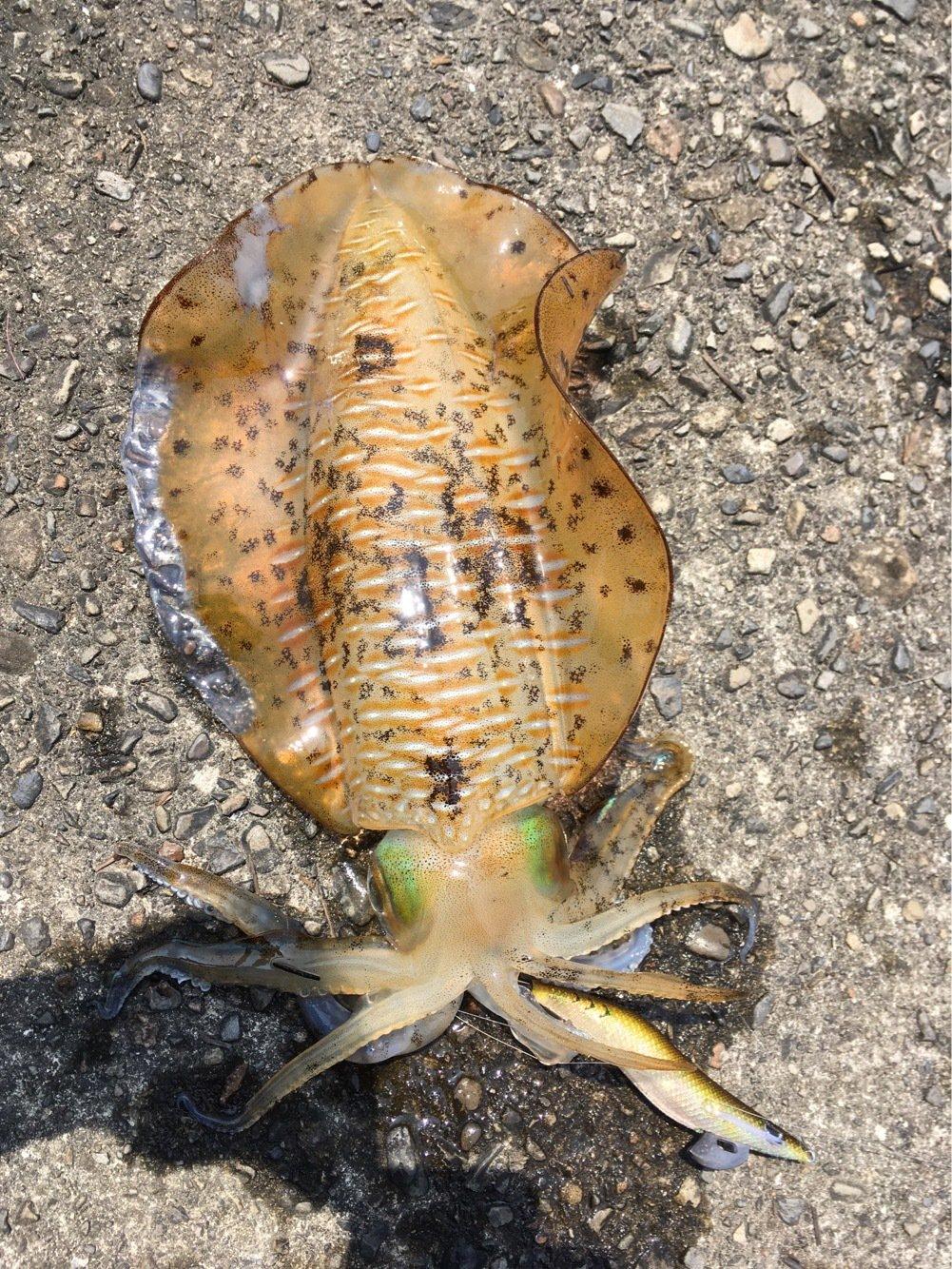 ケツ毛さんの投稿画像,写っている魚はアオリイカ