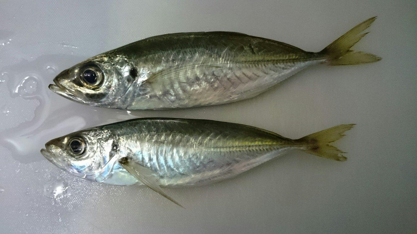 BMさんの投稿画像,写っている魚はアジ