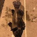 さいとう。さんの福島県での釣果写真