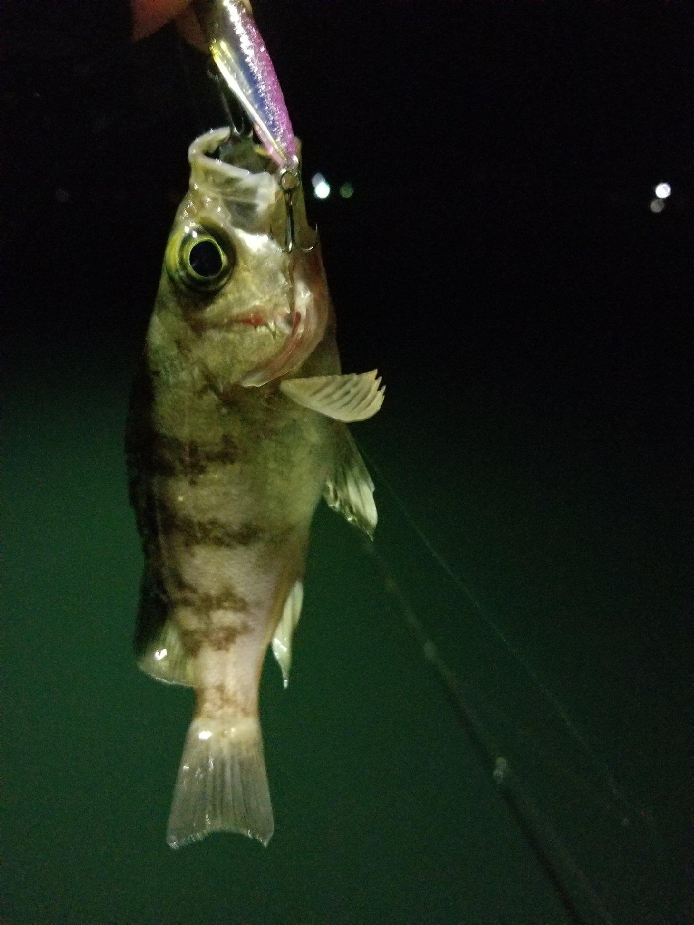 Shunさんの投稿画像,写っている魚はメバル