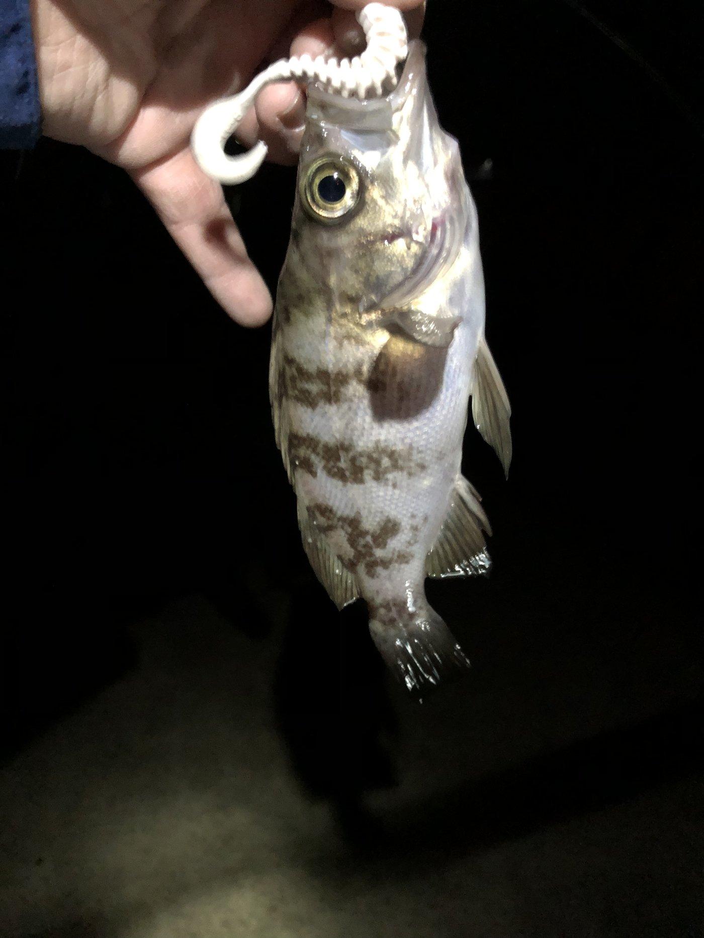 DJ  さんの投稿画像,写っている魚はメバル