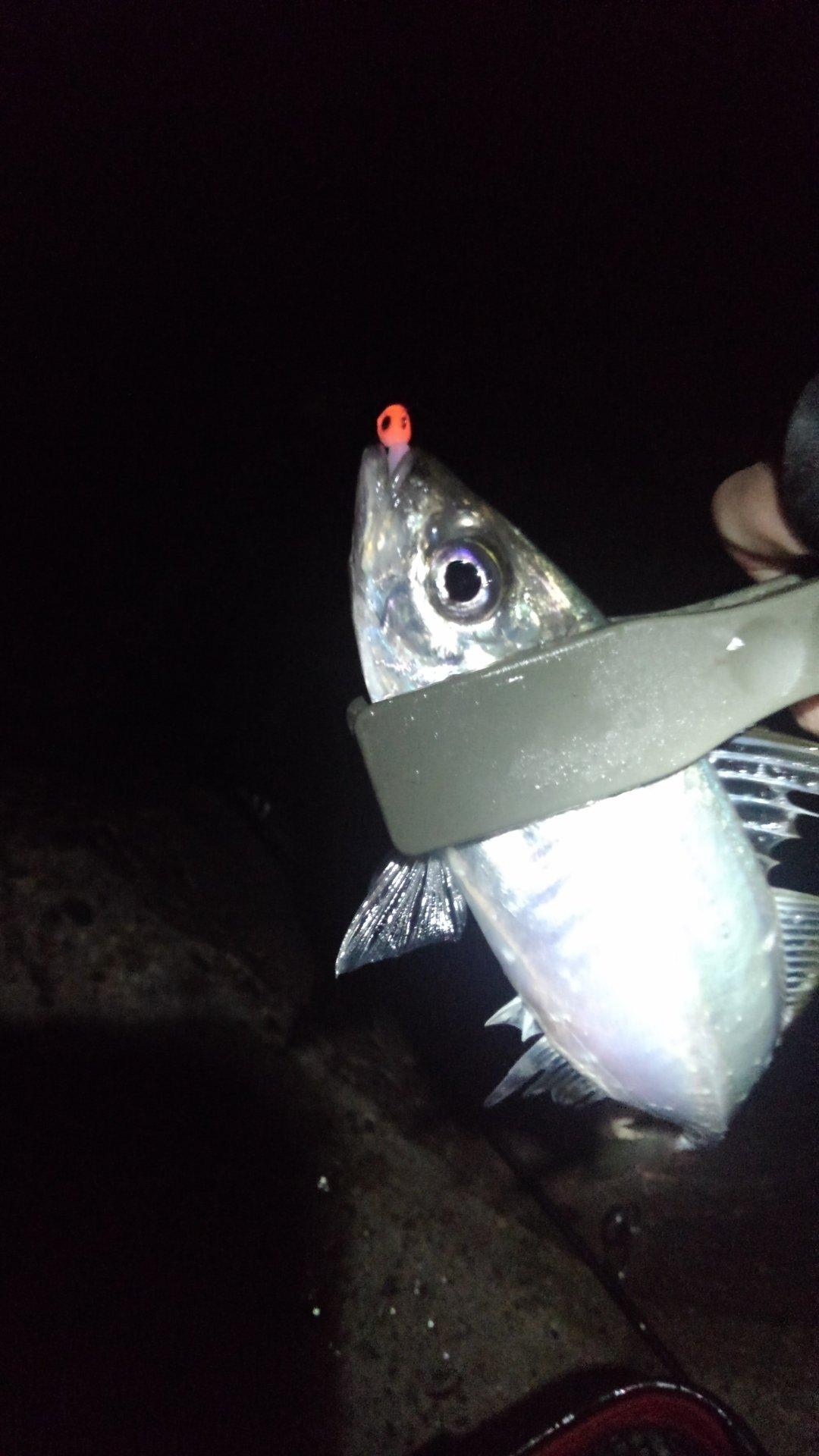おかひじきさんの投稿画像,写っている魚は