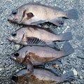 スジカイさんの富山県射水市での釣果写真