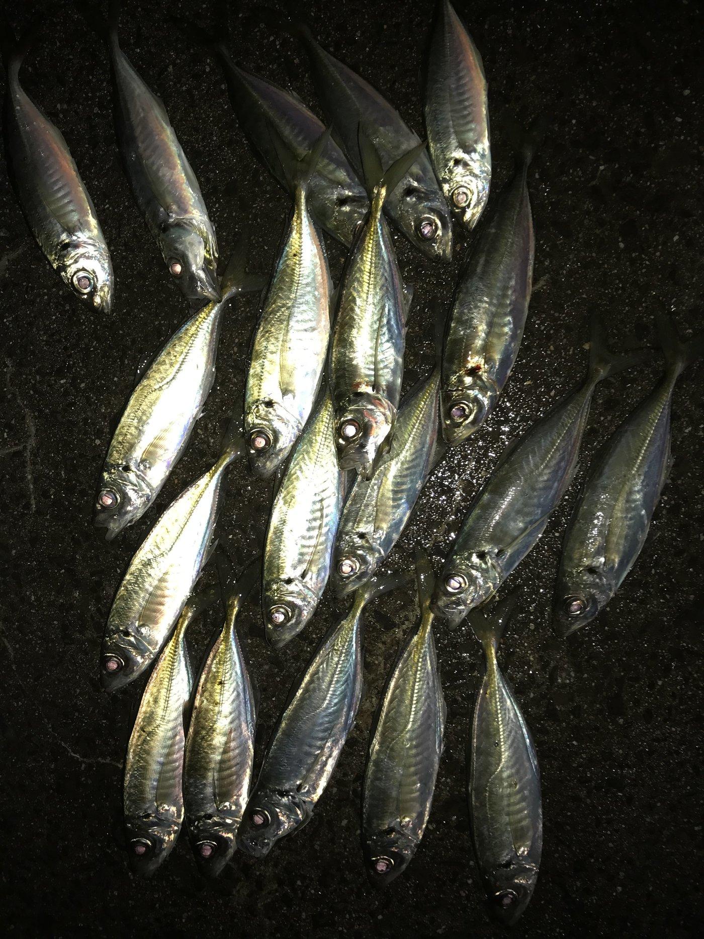 かずさんの投稿画像,写っている魚はアジ