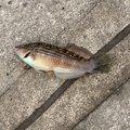 ひとしさんの三重県での釣果写真