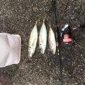 さまやんさんの三重県での釣果写真