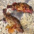 釣り好きドラマーさんの神奈川県でのカサゴの釣果写真
