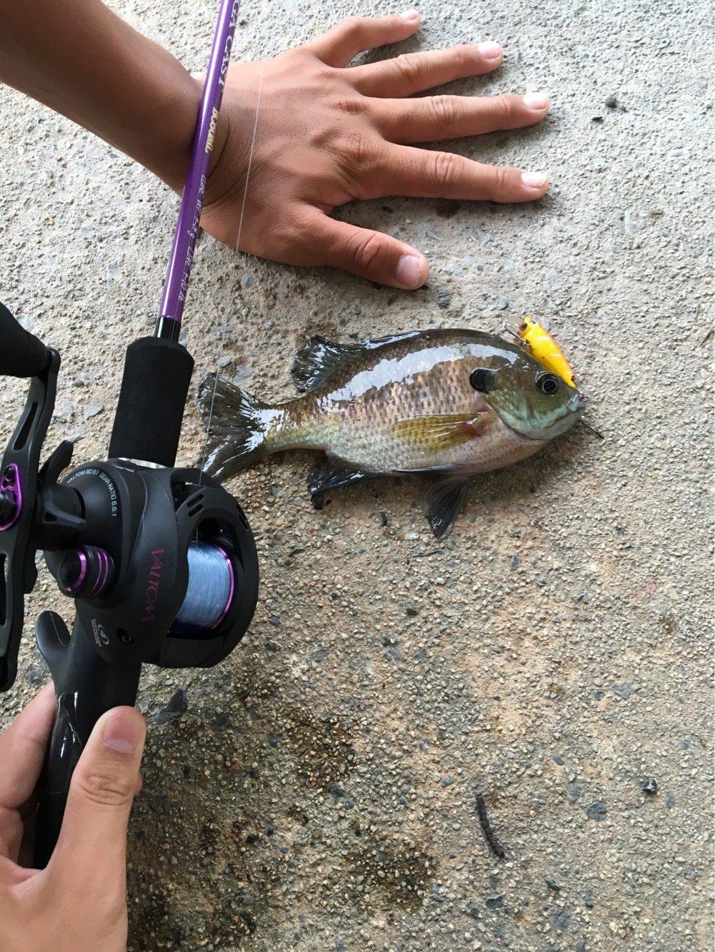 Yuuuuuuukiさんの投稿画像,写っている魚はブルーギル