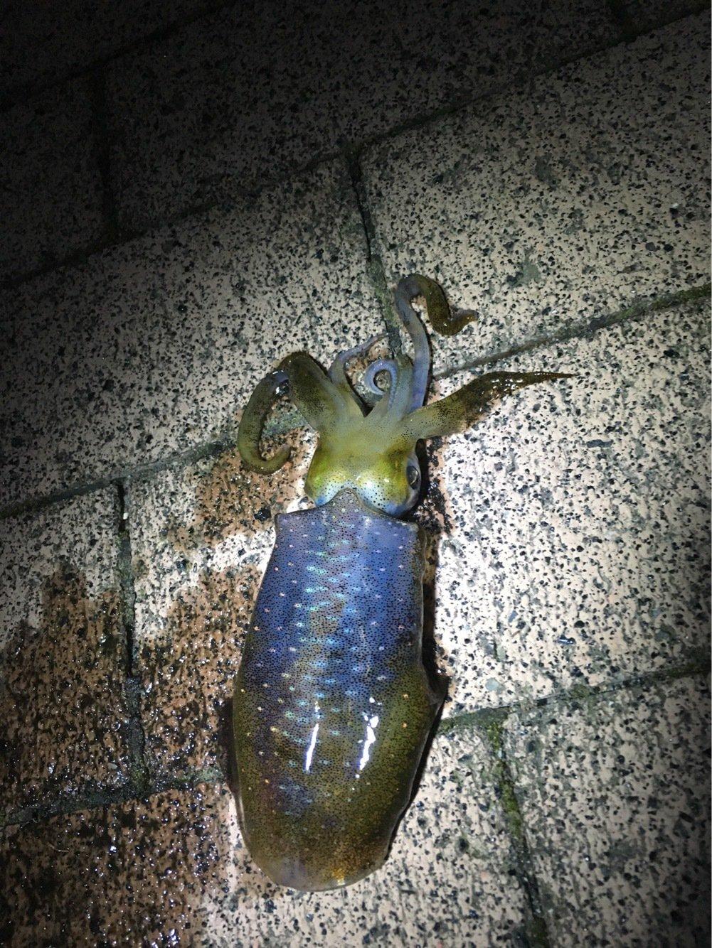 釣りキッチャンさんの投稿画像,写っている魚はアオリイカ