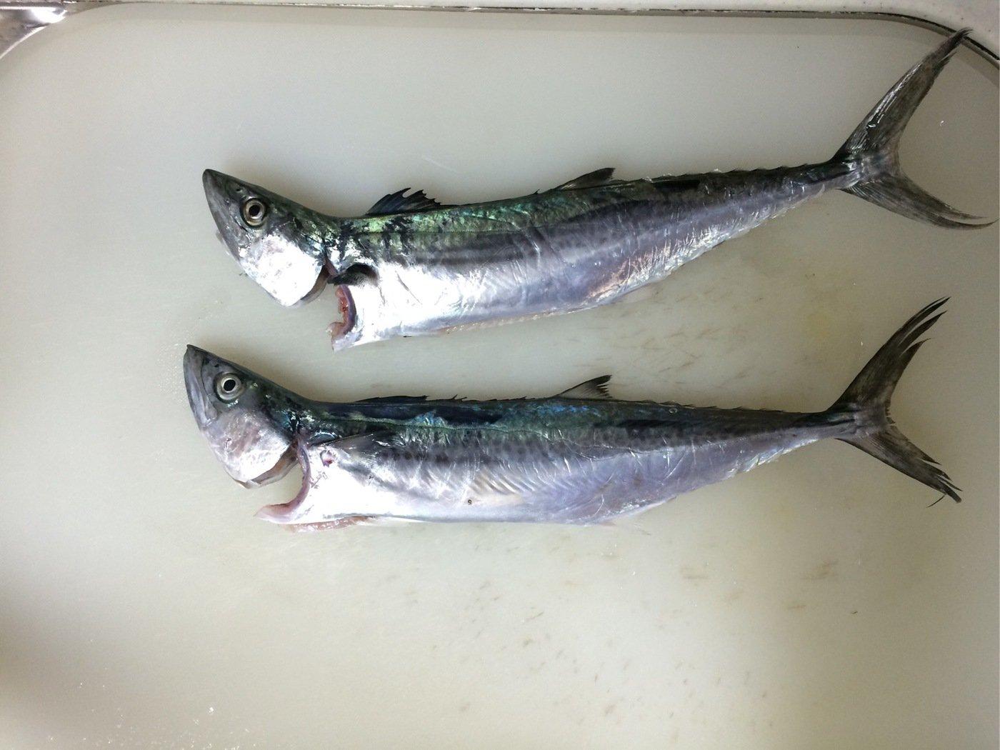 竜太朗さんの投稿画像,写っている魚はサワラ