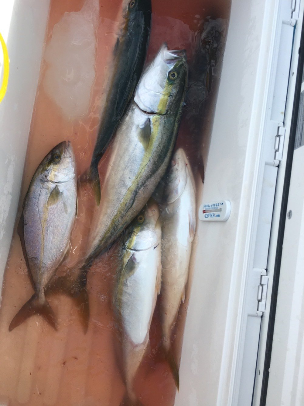 sshiratoさんの投稿画像,写っている魚はワラサ
