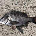 ザッキーさんの愛媛県での釣果写真