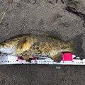 北斗七星さんの新潟県魚沼市でのスモールマウスバスの釣果写真