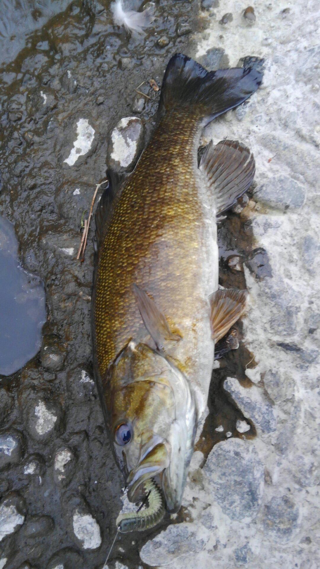 釣れないの豚さんの投稿画像,写っている魚はスモールマウスバス
