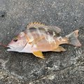 miiiiiさんの沖縄県名護市での釣果写真
