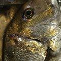 きよしさんの徳島県での釣果写真