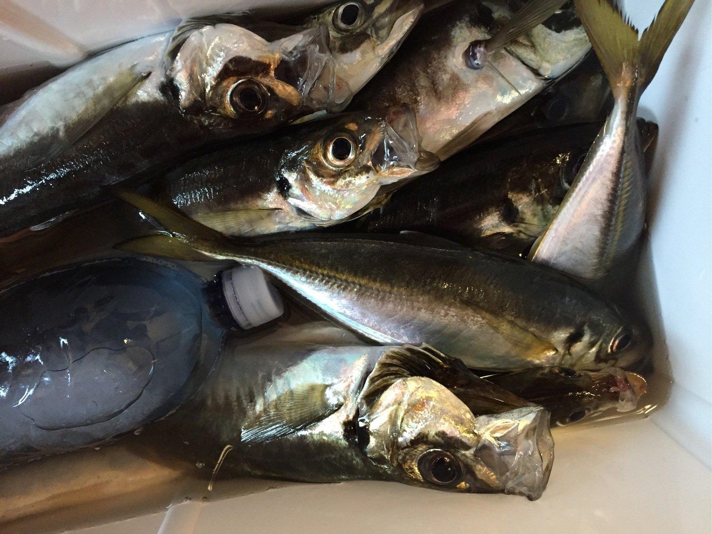 よーすけ。さんの投稿画像,写っている魚はアジ