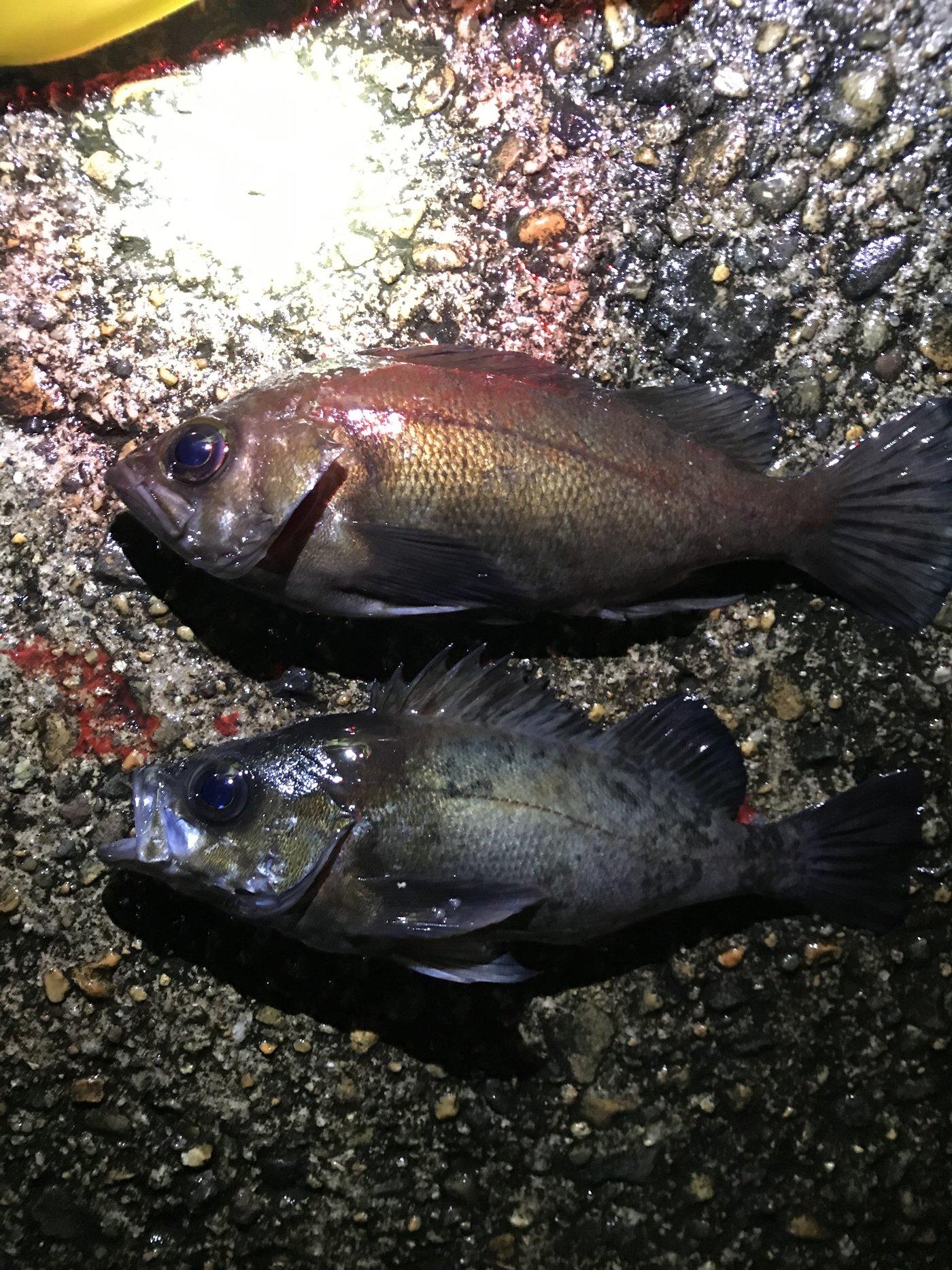 たかしさんの投稿画像,写っている魚はシロメバル