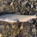 ムックリンさんのニゴイの釣果写真