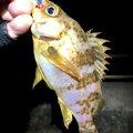 アオリイカオ🦑さんの石川県での釣果写真