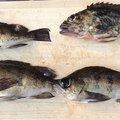イワタカさんの長崎県東彼杵郡での釣果写真