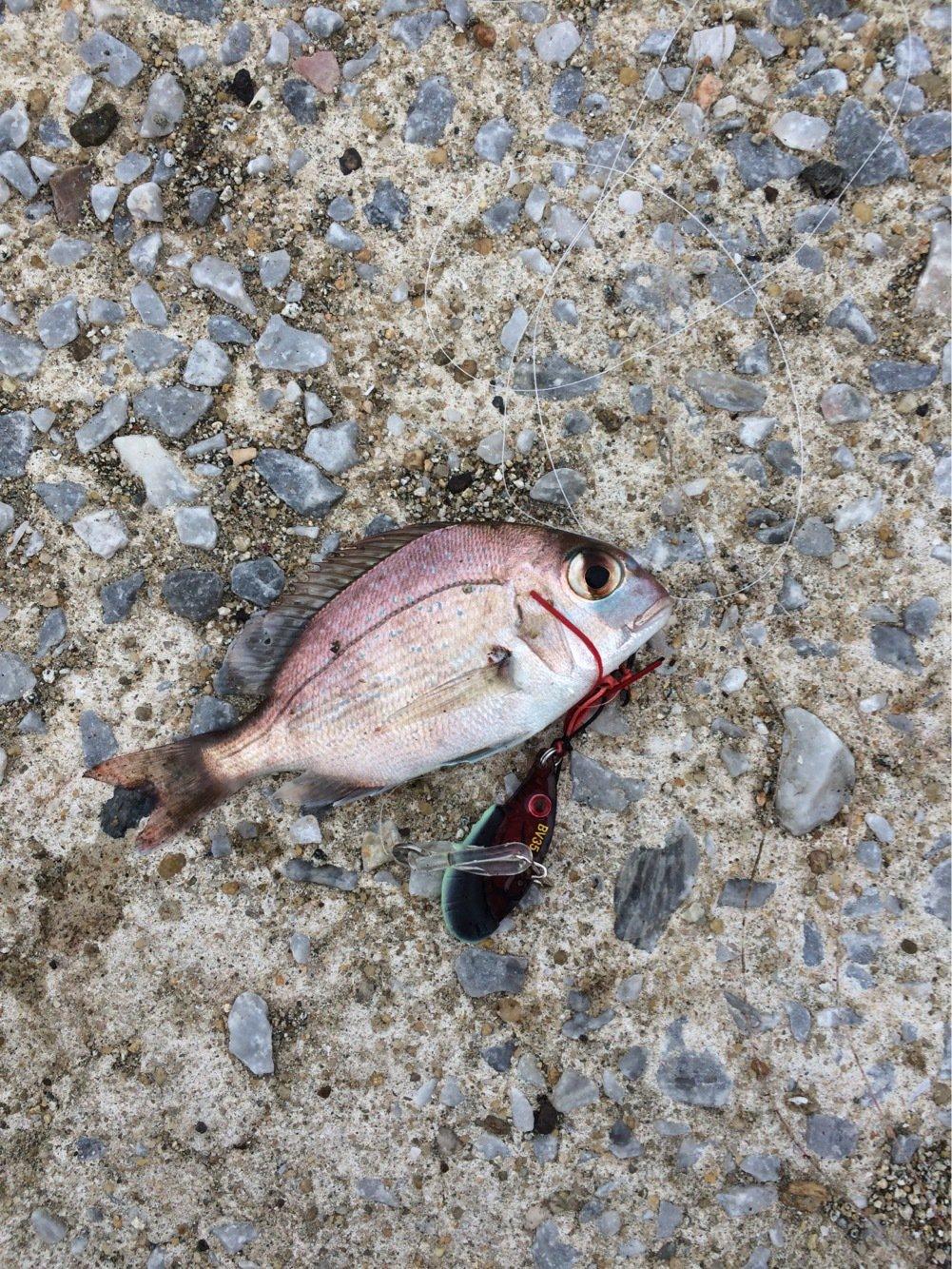 ごっつぁんさんの投稿画像,写っている魚は