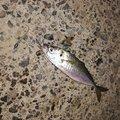 おかっぱーさんの千葉県での釣果写真